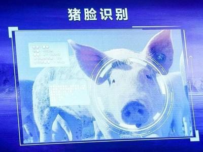 """丁磊最大劲敌 京东农牧推出""""猪脸识别"""""""