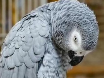 央视报道: 鹦鹉竟能操控语音助手听歌购物