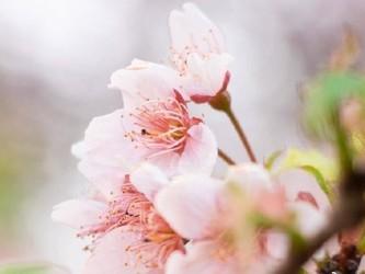 武汉大学开展5G高清直播 这才是赏樱花的正确姿势!