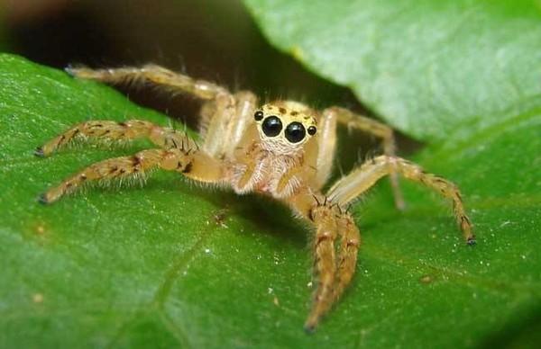 在遭遇可能的危险时,蜘蛛腿上的毛发会发出一定频率的震动(图源网络)