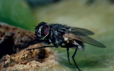 科学家切掉了果蝇的腿 发现了永久性抑制疼痛的方法