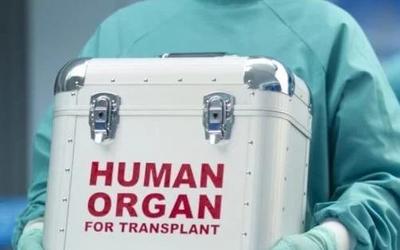 杂交培育器官将开始移植 你想要猪耳朵还是牛鼻子?