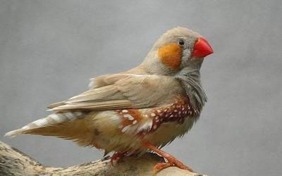 """外国科学家向鸟类脑中植入记忆 不用学习就会""""唱歌"""""""
