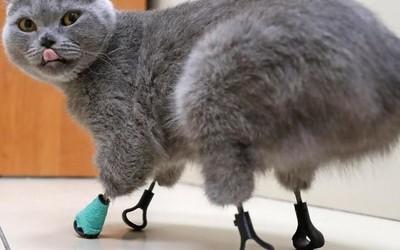 俄罗斯猫咪因冻伤失去4只爪子 兽医用3D打印为其复原