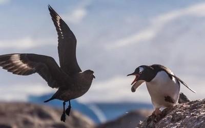 萌萌的企鹅有救了 机器人协助研究员开展南极保护计划