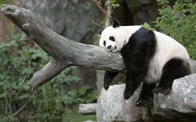 吃不到新鲜竹子的大熊猫提前归国 荣耀30的主场来了!