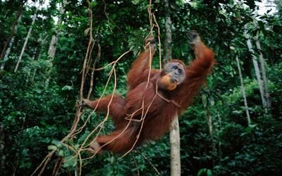 可爱的猩猩有救了!印尼利用机器学习来拯救猩猩